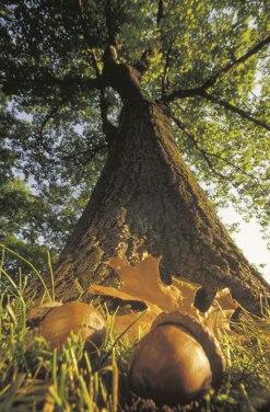 oak-acorns